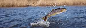 trout fish jumping in colorado river during fly fishing adventure